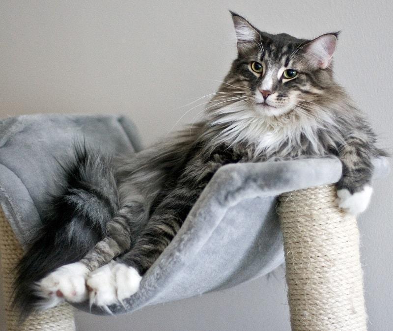 10 самых крупных пород домашних кошек для тех, кто хочет быть придавлен к дивану мурчащим трактором