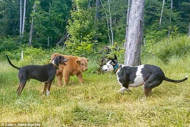 Отвергнутого стадом теленка воспитали собаки. Посмотрите на это мохнатое чудо! (5 фото + видео)