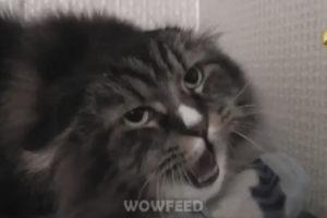 «Миша, давай» — скомандовала хозяйка, и Миша выдал! Этот кот стал звездой Интернета!