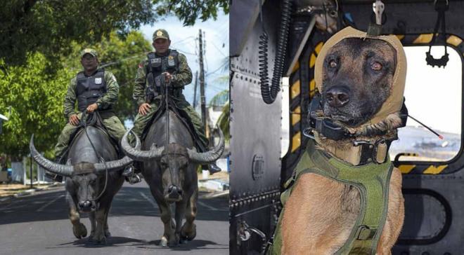 Животные на страже мира: полицейские на буйволах и военные шапочки для собак