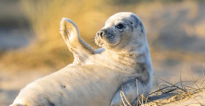 Счастливый тюлененок «поздравил» всех с наступающими праздниками