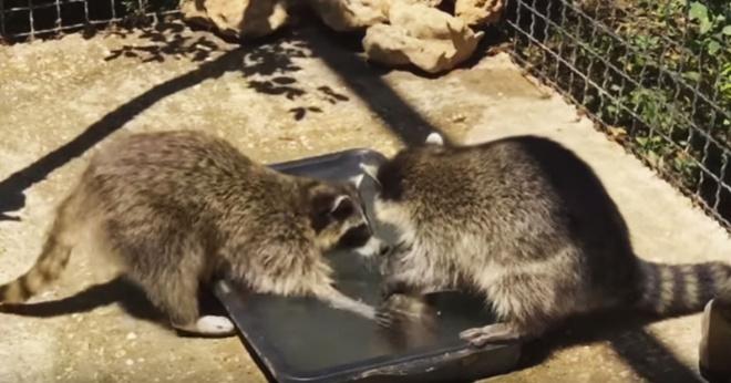 Как еноты детей купают – милейшее видео из просторов сети!