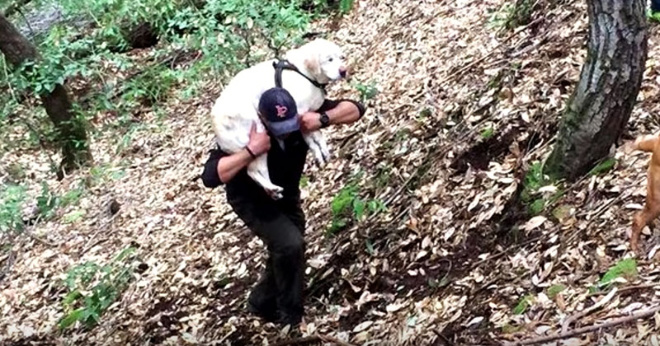 Парень нашел в ручье старого слепого лабрадора и спас его, неся на своих плечах!