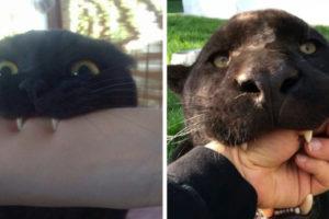 Пантеры — это просто большие чёрные кошки. Смотрите сами