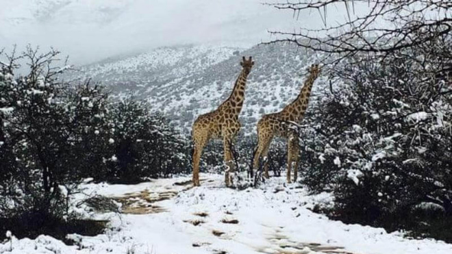 Африку накрыли метели, ошалевшие жирафы и слоны бродят по сугробам и едят снег