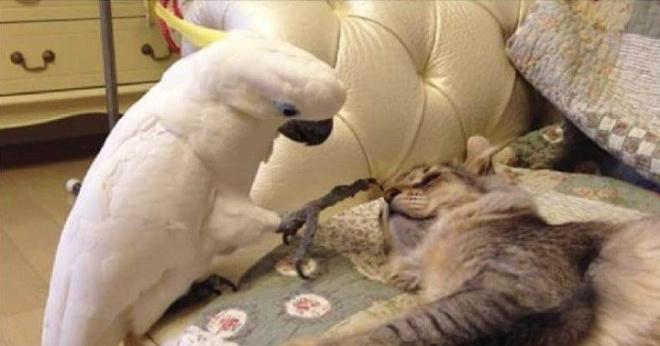 Попугай, чтобы жить в квартире с котами, научился «разговаривать» по-кошачьи