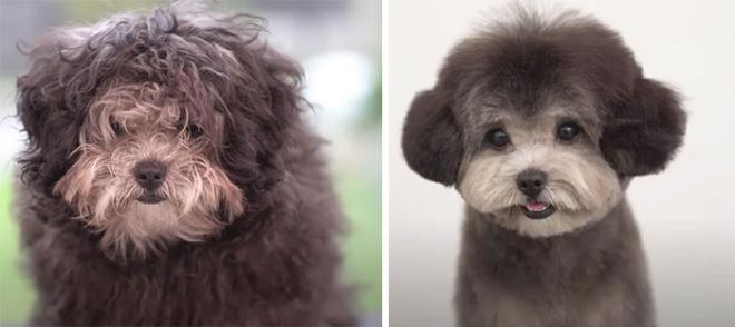 Удивительные преображения собачек, которые наконец-то попали в руки грумеров
