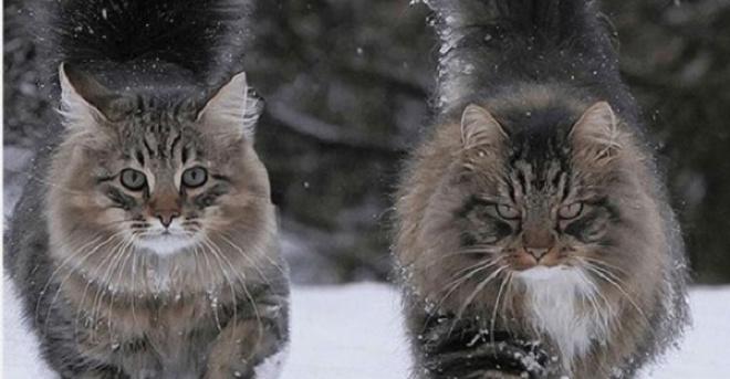 Фотограф из Финляндии поделилась фото своих неимоверно крутых северных котов!