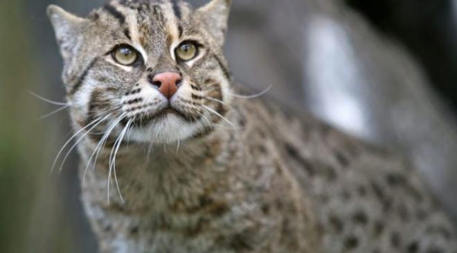 В мире существует 12 разновидностей редких котов. О некоторых вы даже не знали